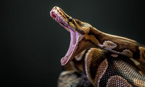 A photo of a python showing fangs.